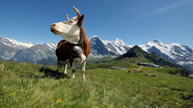 swiss_cow_total_digital_security